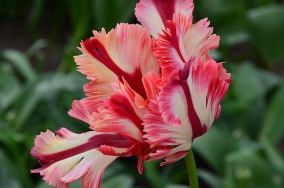 Bijzondere Tulp