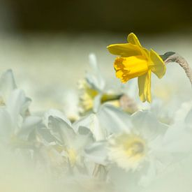 King of the flower bulbs von Karla Leeftink