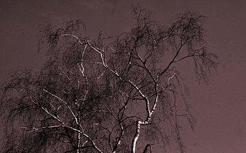 Berken  boom-Birch tree-Arbre du bouleau-Birke-Albero di betulla von aldino marsella