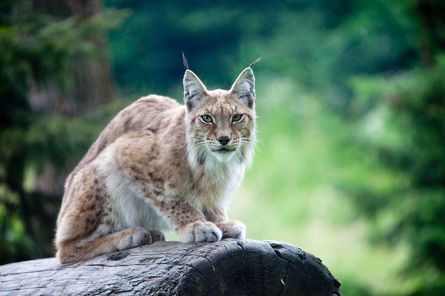 Waakzame lynx