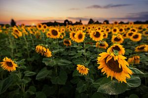 Sonnenblumenfeld beim Sonnenuntergang von Sergej Nickel