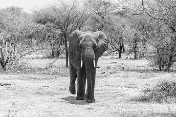 Eléphant en promenade dans la savane sur Mickéle Godderis