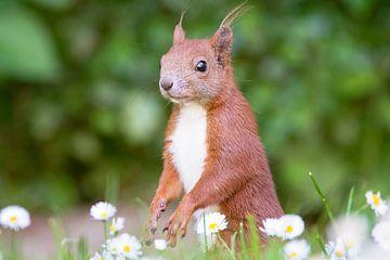Eichhörnchen von Alena Holtz