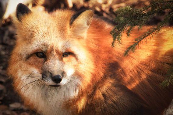Fox van Holger Debek