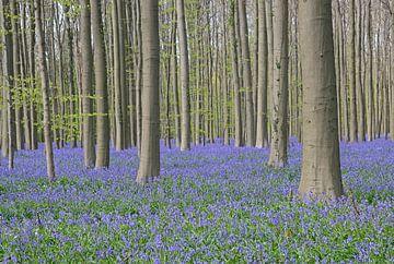 Blaue Hyazinthen im Hallerbos von Barbara Brolsma