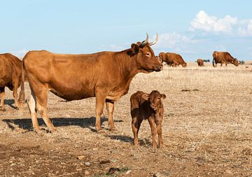 Cows in alentejo field von Compuinfoto .