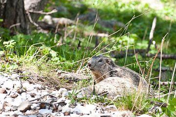 Provence, marmot van