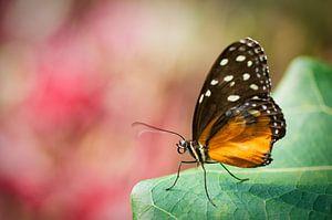 Heliconius (Nymphalidae: Heliconiinae: Heliconiini)