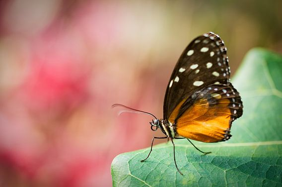 Heliconius (Nymphalidae: Heliconiinae: Heliconiini) van Sran Vld Fotografie
