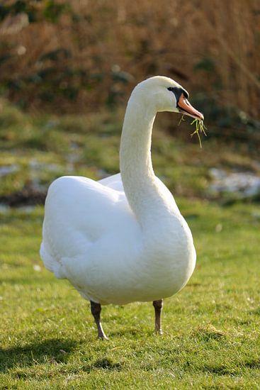 Een zwaan in de wilde natuur met gras in zijn snavel
