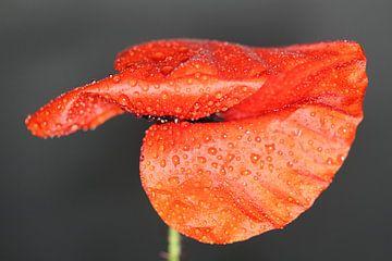 rode klaproos met regendruppels van Anne Ponsen