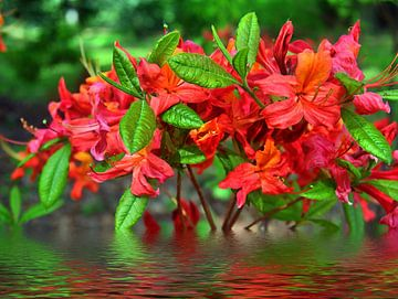 Wasserblüten van