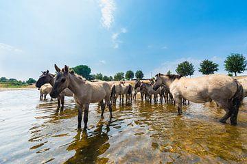 Konikpaarden staan in de rivier van