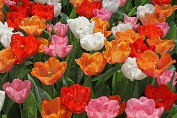gekleurde tulpen van laura van klooster