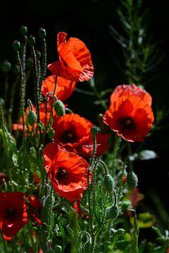 Wilder roter Mohn blüht vor dunklem Hintergrund von Ulrike Leone