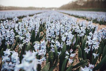 Blaue Hyazinthen in der Blumenzwiebelwachstumszone von Sanne Dost