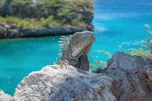 Iguana @ Playa Lagun Curaçao