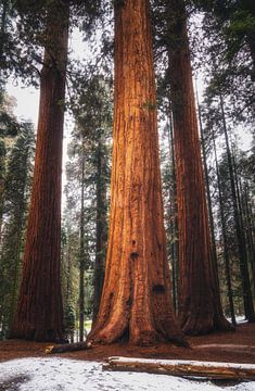 Der König der Sequoia's von Joris Pannemans - Loris Photography
