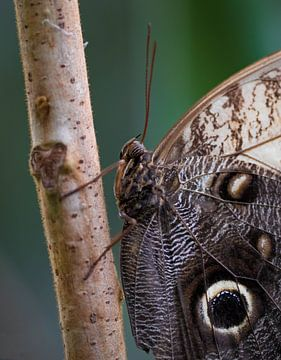 Vlinder van Arnold Loorbach