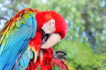 Roter Keilschwanzsittich oder Papagei säubert seine Federn von Ben Schonewille
