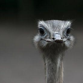Prachtige close up van een struisvogel die je recht en doordringend aankijkt van Patrick Verhoef