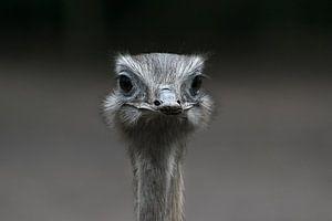 Prachtige close up van een struisvogel die je recht en doordringend aankijkt