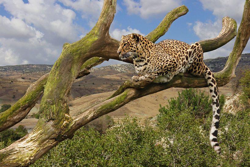 Panter in een boom van Dennis Schaefer