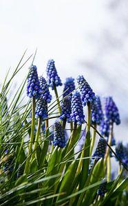 Blauwe druifjes in volle bloei van Schram Fotografie