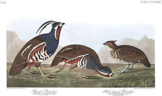 Bergkwartel van Birds of America