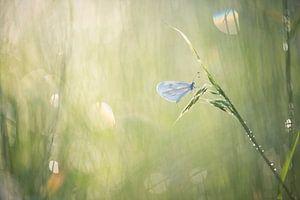 Wit klein vlindertje, het boswitje.  van