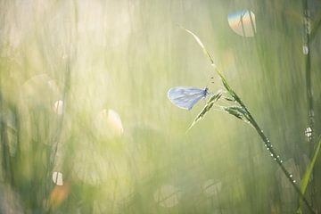 Wit klein vlindertje, het boswitje.  van Francis Dost