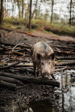 Zwijn tijdens een modderbadje van Holly Klein Oonk