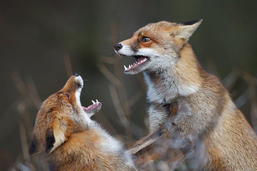 Fighting foxes van Pim Leijen