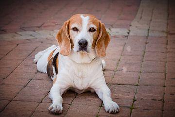 Beagle von Jellie van Althuis