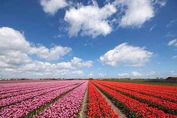 Roze  en rode bloeiende  tulpen op een rij  van Maurice de vries