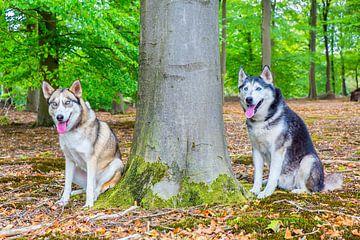 Twee poolhonden zitten naast boom in bos van Ben Schonewille