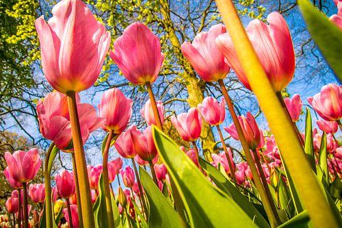 Fleurige roze tulpen