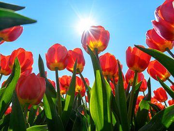 Tulpenveld in de zon van Michel Knikker