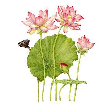 Lotusbloem, Nelumbo nucifera van Ria Trompert- Nauta