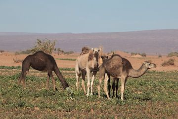 Dromedarissen in de Sahara van jan katuin