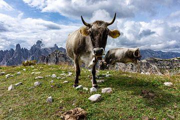Posierende Kuh in den Bergen von Lynn Haverhals
