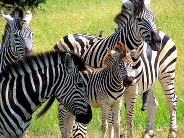 Zebra familie von Kim van de Wouw
