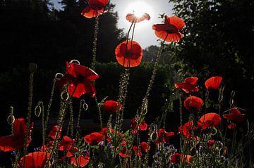 Mohnblumen im Gegenlicht von cuhle-fotos