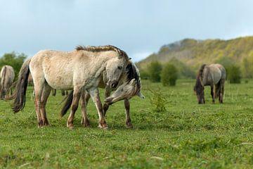 Spelende paarden von Eelke Cooiman