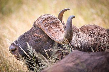 Sleeping Buffalo sur