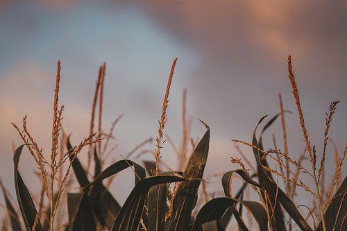 De engelenlucht en het maïsveld