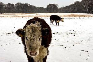 koe in de sneeuw