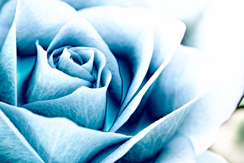 Blauwe roos von John Groen