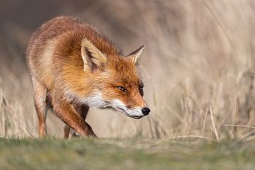 Den Fuchs wieder einfangen von Arno van Zon