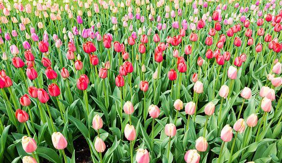 roze en   rode tulpen op de bollenvelden in de keukenhof